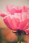 Vintage looking image of pink ranunculus flowers
