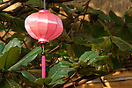 Pink silk lantern in a tree, Hoi An, Vietnam