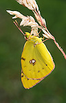 Clouded Yellow butterfly (Colias croceus) resting on grass stem, showing underside of wings, with spots.United Kingdom....