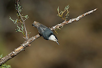 561250013 a wild white-breated nuthatch sitta carolinensis tenussuma perches on a branch in madera canyon green valley arizona united states