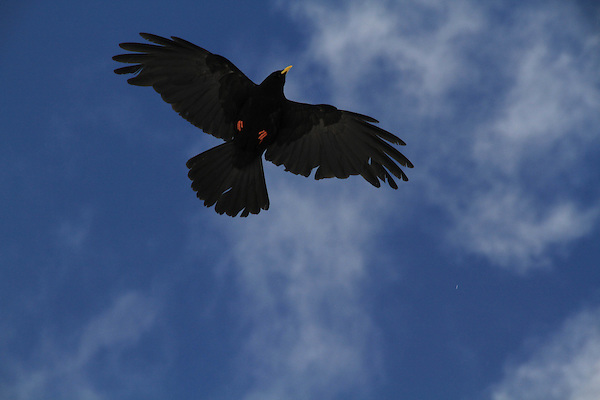 Crow overhead at the Top of the Alps Observatory above Grindelwald, Switzerland.