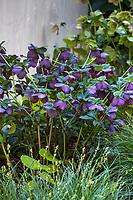 Helleborus orientalis Lenton Rose flowering perennial in shade; McAvoy Garden - California summer-dry garden