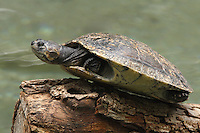 Turtle warming itself in the sun. The family Emydidae contains the largest number of fresh water turtle species such as box turtles, pond turtles and river turtles.