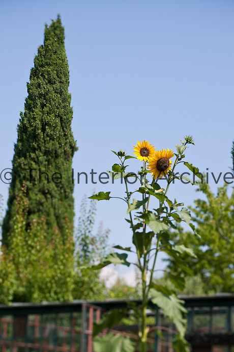 Bright yellow sunflowers viewed from the ground with a tall cypress tree in the background