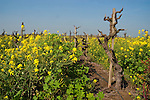 Golden mustard flowers in bloom in the middles of old red-grape wine vineyard.