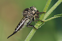 Robber Fly, Asilidae, adult with prey, Willacy County, Rio Grande Valley, Texas, USA