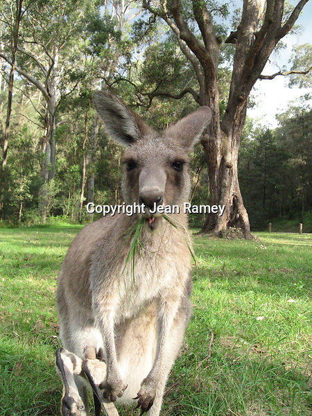 Mother kangaroo with joey in the wild, Australia