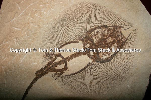 Fossil Stingray