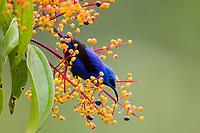 Cyanerpes lucidus