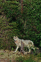 694922426 a wild gray wolf canis lupus explores his boreal forest home near great slave lake in the northwest territories of canada