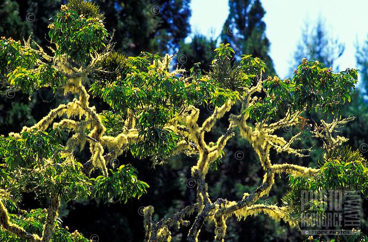 Moss covered koa tree at Mauna Kea on the Big Island of Hawaii