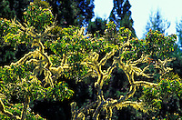 Moss covered koa tree at Mauna Kea on the Big Island of Hawaii