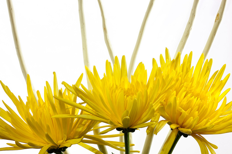 Yellow Spider Mums with white branches.
