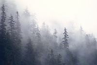 Western Hemlock trees, Chugach National Forest, Prince William Sound, Alaska