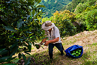 A Colombian farm worker cuts avocado fruits from a tree during a harvest at a plantation near Sonsón, Antioquia department, Colombia, 21 November 2019. Over the past decade, the Colombian avocado industry has experienced massive growth, both as a result of general economic development in Colombia, and the increased global demand for so-called superfood products. The geographical and climate conditions in Antioquia (high altitude, no seasonal extremes, high precipitation rate) allow two harvest windows of the Hass avocado variety across the year. Although the majority of the Colombian avocado exports are destined towards Europe now, Colombia aspires to become one of the major avocado suppliers to the U.S. market in the near future.