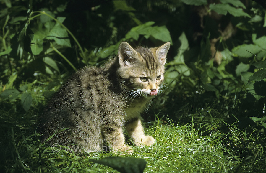 Wildkatze, Wild-Katze, Jungtier, Kätzchen, Katze, Felis silvestris, wild cat