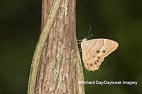 03481-00107 Southern Pearly-Eye (Enodia portlandia) Big Oak Tree State Park Mississippi County, MO