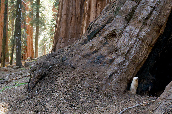 Due to recent warming and low snow levels, marmots can now be seen playing amongst the sequoia trees in the Giant Forest.