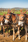 Amish farmer plowing with mules in Springtime.