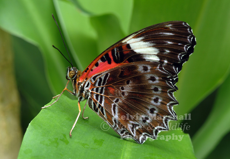 A close up view of a Male Red Lacewing Butterfly (Cethosia cydippe) resting on a green rainforest leaf.