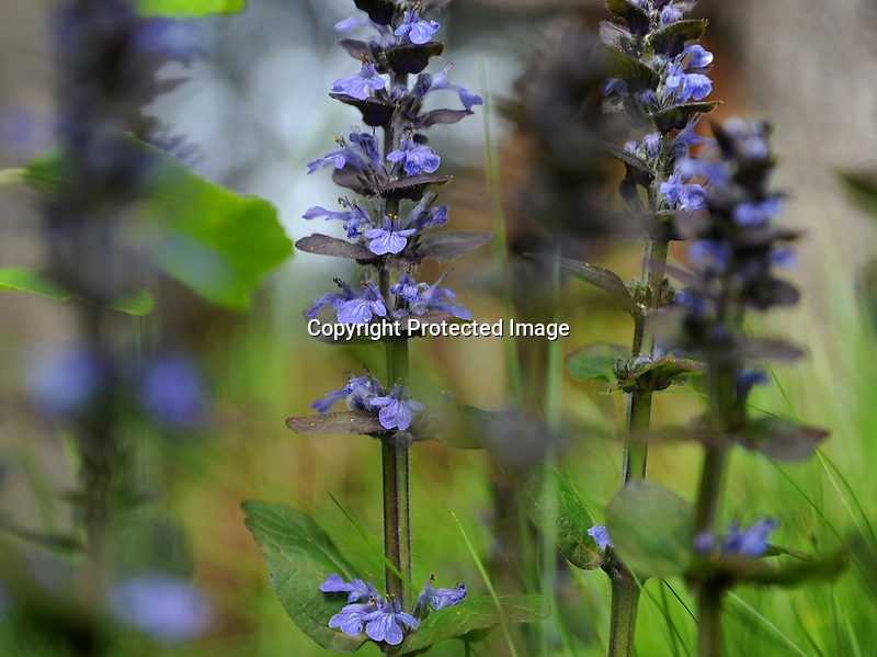 Ajuga Flowers in Spring Bloom, Connecticut
