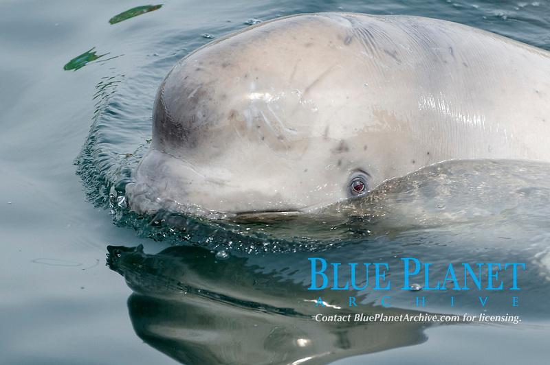 Young Beluga Whale or White Whale (Delphinapterus leucas), Sea of Japan, Primorsky Krai, Russia, Europe