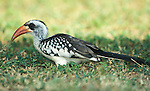 Western Red Billed Hornbill, Tockus kempi, on grass, West Africa.