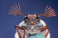 Maikäfer, Männchen, Portrait, Porträt, Gemeiner Maikäfer, Feld-Maikäfer, Feldmaikäfer, Mai-Käfer, Melolontha melolontha, maybeetle, may-beetle, common cockchafer, maybug, male
