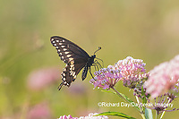 03009-01909 Black Swallowtail (Papilio polyxenes) male on Swamp Milkweed (Asclepias incarnata) Marion Co. IL