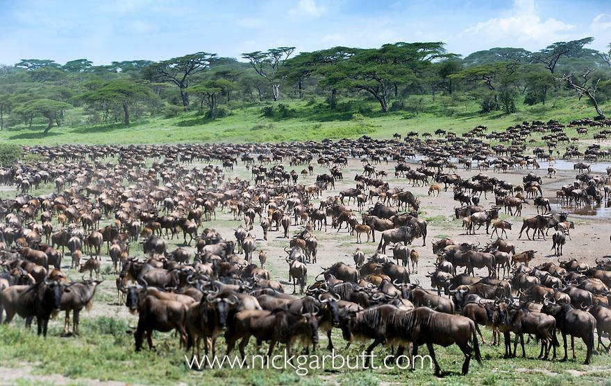 Herd of White-bearded Wildebeest (Connochaetes taurinus albojubatus) with calves in Long Gully near Ndutu. Annual Serengeti-Masai Mara migration. Ngorongoro Conservation Area, Serengeti Ecosystem, Tanzania. (digitally stitched image)