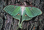 False eyes on wings of a Luna Moth create the illusion of a mask.  Animal is on a White Ash tree in New Jersey. Related to the Asiatic Silkworm, It is found only in the eastern half of North America.