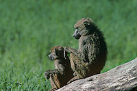 607254003 a wild adult and baby olive baboon papio anubis rest on a large log along the shore of lake manyara in kenya