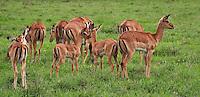 Gazelles in Lake Nakuru National Park, Kenya
