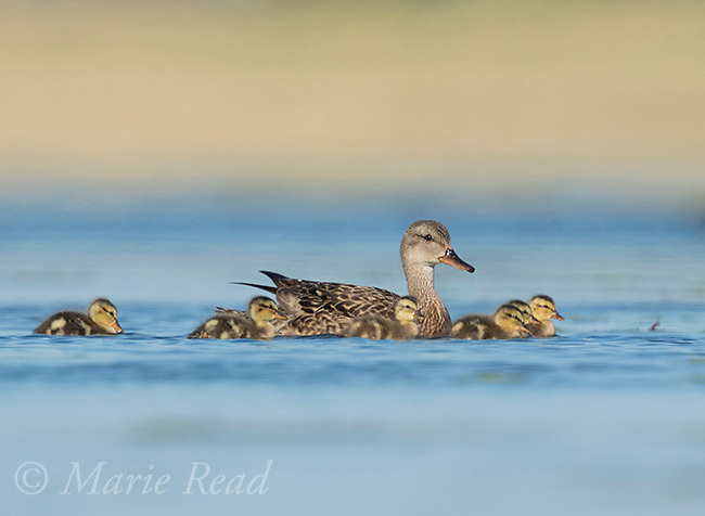 Gadwall (Anas strepera) female with brood of ducklings, swimming, Bowdoin National Wildlife Refuge, Montana, USA