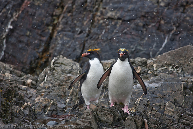 Macaroni penguins at Hercules Bay, South Georgia Island.