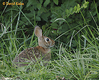 0726-06xx  Eastern cottontail rabbit - Sylvilagus floridanus © David Kuhn/Dwight Kuhn Photography