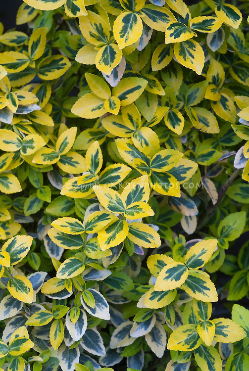 Euonymus fortunei Emerald N Gold variegated green and yellow foliage shrub leaves