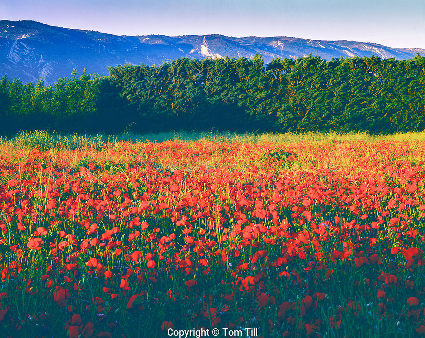 Poppy Fields, Provence Regional Natural Park, Provence, France, Near Luberon Mountains, May