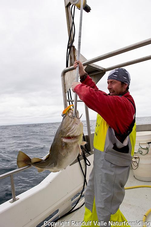 Mann klepper stor torsk. ---- Man gaffing large cod.