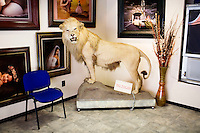 Puebla, Mexico - DEC 3: A fake lion stands inside a portrait photographer's studio on Wednesday, December 3, 2008, in Puebla, Mexico. (Photo by Landon Nordeman)