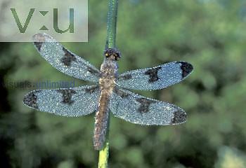 Dewy Dragonfly, North America.