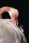 American flamingo portrait, Florida.