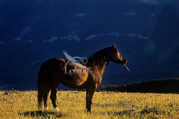 Wild horse standing in alpine meadow in last few minutes of sunlight.  Western U.S., summer.