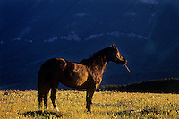 Wild horse standing in alpine meadow in last few minutes of sunlight.  Western U.S., summer.