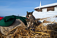 Paul Gebhart dogs rest on straw in the sun at the village checkpoint of Ruby during the 2010 Iditarod