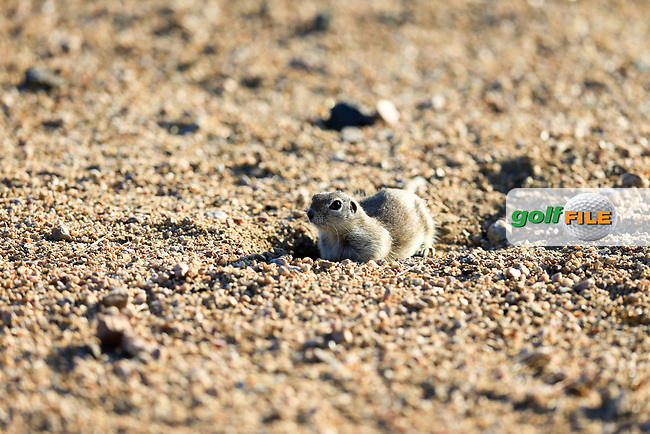 Arizona Prairie Dog watching the action during the 2nd round of the Waste Management Phoenix Open, TPC Scottsdale, Scottsdale, Arisona, USA. 01/02/2019.<br /> Picture Fran Caffrey / Golffile.ie<br /> <br /> All photo usage must carry mandatory copyright credit (&copy; Golffile | Fran Caffrey)