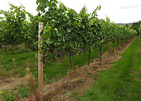 BNPS.co.uk (01202 558833)<br /> Pic ChrisNewman/BNPS<br /> <br /> 6 acre vineyard...<br /> <br /> Heard it through the grapvine? - Kent property comes with a 4500 bottle vineyard.<br /> <br /> A charming farmhouse has emerged for sale which is perfect for wine lovers - as it has its own vineyard.<br /> <br /> Ulley Farmhouse in Kennington, Kent, comes with the neighbouring vineyard which produces 3,500 bottles of sparkling rose wine and 1,000 bottles of still rose each year.<br /> <br /> The vines were planted on the 5.75 acre farm by Chris and Rachel Newman 10 years ago, who have sold the wine through farmers markets.<br /> <br /> They are selling the property with estate agents Savills who have given it a pricetag of £1.35million.<br /> <br /> The Grade II listed five bedroom farmhouse dates back to the 16th century, with some later alterations.