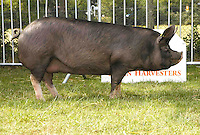 The supreme pig champion, Berkshire gilt Morebread Louise 30 from Mr. and Mrs. C. Bull of Peasmarsh, Rye, Sussex.