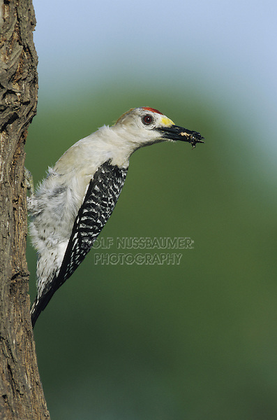 Golden-fronted Woodpecker (Melanerpes aurifrons), male with insect prey, Sinton, Coastel Bend, Texas, USA