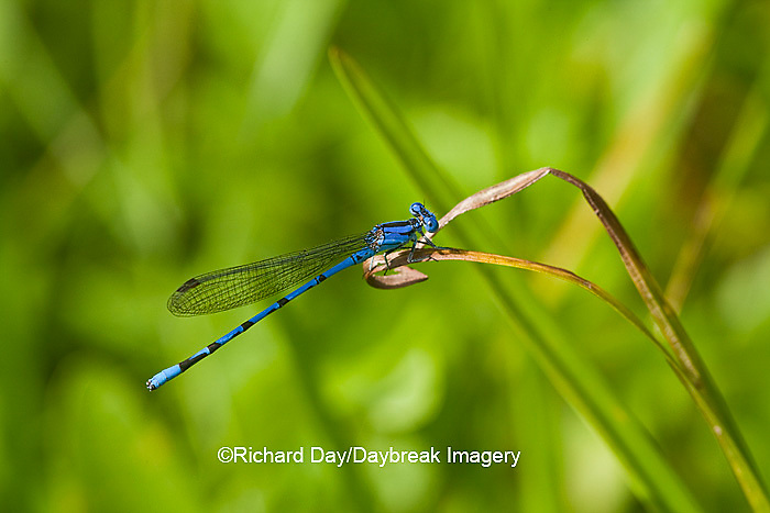 06084-001.01 Springwater Dancer damselfly (Argia plana) male in fen, Phelps Co., MO